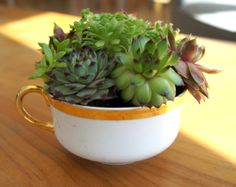 Succulent teacup part 3: limoges. designed by: **northern succulent creations**