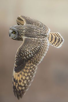 Short-eared Owl. A day flying owl. Not all owls are nocturnal. Owl Photos, Owl Pictures, Beautiful Owl, Animals Beautiful, Nocturne, Lechuza Tattoo, Flying Owl, Short Eared Owl, Burrowing Owl