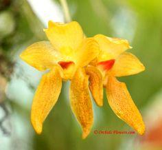 Bulbophyllum cootesii Ma. A. Clements 1999