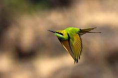 Flying green  http://500px.com/photo/27375363  In flight shot of green bee eater.