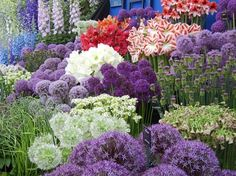 """Alliums or ornamental onions are critter resistant and easy to grow bulbs that come in many colors, heights, and bloom times. Planted in the fall, they grow best in full sun. They reach heights of 5-60"""" tall and grow in zones 4-10."""