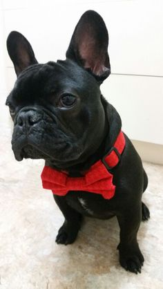 Dapper Frenchie in a bow tie, French Bulldog