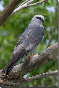 Mississippi Kite.  These beautiful birds appear each year about Memorial Day and soar above our property daily until Labor Day.  They nest in our trees, and perch on the power lines to watch for food.