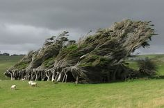 Gli alberi su Slope Point, la punta meridionale della Nuova Zelanda