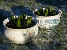 vintage containers for spring bulbs