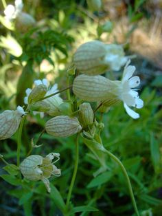 Nurmikohokki - Silene vulgaris - Kohokkikasvit - Pori-fi - Jari Taivainen