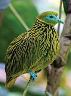 The Golden Fruit Dove is a small bird (8 inches in length) found on the Fijian islands. It looks like it's taken a wad of pomade and went to town on those feathers of his to get a nice piecey look! Quite the feathered 'do!