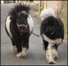 Dog walking pony!
