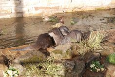 Otters show mutual affection - September 13, 2015