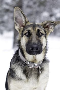 Wicked Training Your German Shepherd Dog Ideas. Mind Blowing Training Your German Shepherd Dog Ideas. Baby Dogs, Pet Dogs, Dogs And Puppies, Dog Cat, Doggies, Beautiful Dogs, Animals Beautiful, Cute Animals, Animals Dog