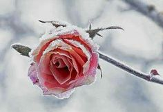 Frozen Beauty - winter garden - rose
