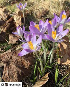 Fargerike dager kommer snart. #reiseliv #reisetips #reiseblogger #reiseråd  #Repost @grybraten with @repostapp  #crocus #delight makes me smile #spring #horten #norway #godmorgennorge #pocket_flowers #fiftyshades_of_nature_ #the_gallery_of_magic #natura_love_ #nature_brilliance #special_shots #fotocatchers #fotofanatics_nature_ #bella_shots #ig_divineshots #ig_bliss