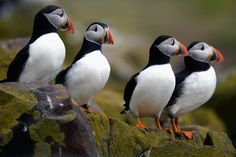 Puffins return to their summer breeding grounds on the Farne Islands in Northeast England on May 16, 2013. They are often called sea parrots due to their colorful beaks. (Jeff J Mitchell/Getty Images)