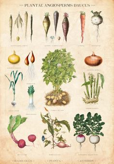 Vintage Botanical Chart, Root Vegetable Table, Danish Educational Chart Limited Edition Art Print
