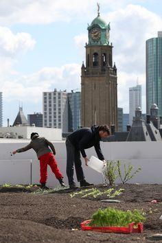 DAKAKKER ROTTERDAM - Met het project Dak Akker, op het dak van het Schieblock, wordt gewerkt naar de introductie van het eerste oogstbare dak in de Randstad. De potentie van daken als oogstbare tuin, vergroening voor de stad en waterbuffer zijn onbetwist. De belangen voor de stad zijn groot, het gaat ten slotte om het opwaarderen van de stedelijke omgeving en het benutten van kansen die positief bijdragen aan de leefbaarheid van de stad en haar bewoners.