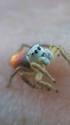 301 best jumping spider images jumping spider spiders beautiful rh pinterest com
