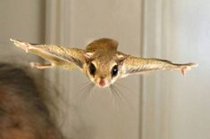 Flying squirrel incoming - Imgur