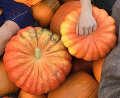 Winter Squash, Cinderella / Rogue Vif D'Etampes Organic Vegetable Seeds, Orange House, Red Fruit, Autumnal, Rogues, Squash, Pumpkins, Crisp, Cinderella