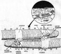 reproduction of earth worm