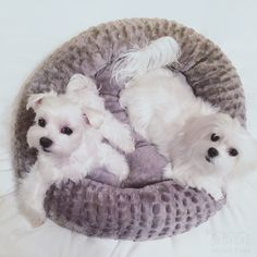 Ready for ur toobing ride #toobing #twodogs #arodwang #maltese #baileybee #puppylove #doglover #whitedog #aplacetolovedogs #dogoftheday #petlove #puppy #animalphotos #mydogiscutest #baileybee