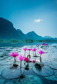 Wild water lily blossomed in a river steam in Suoi Yen, Ha Tay near Ho Noi capital, Vietnam. Morning Lily by Andre Luu. ~Our Beautiful World~ Beautiful World, Beautiful Images, Beautiful Flowers, Vietnam Voyage, Wild Waters, Jolie Photo, Amazing Nature, Mother Earth, Beautiful Landscapes