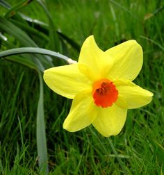 Rose the rose was designated the official flower and floral emblem irelands national flower daffodil mightylinksfo