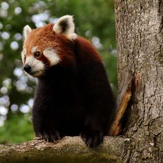 Red panda Photographer: Alexas_Fotos #nikon#d7200 #nikond7200 #animal #animals #nature #portrait #panda #redpanda #pandas #bearcat #mammal#mammals #predator #ailurusfulgens #himalayas #China#zoo#hellbrunn #tierpark #photography #pictures #instagram#picture #photographer#image #images #photo #shoot #photoshoot