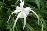 How to Propagate Spider Lilies (4 Steps) | eHow
