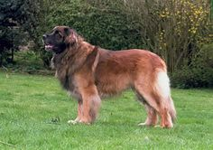 Leonberger - Origin from Germany - Crossbred from Newfoundland, St Bernard & Great Pyrenees
