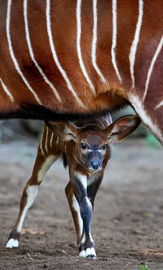 A two week-old Eastern Bongo calf looks out from under her mother at Sydney's Taronga Zoo. These animals are critically endangered with as few as 75 remaining in small groups of 6 to 12 animals in their Kenyan upland range. (AFP Photo)