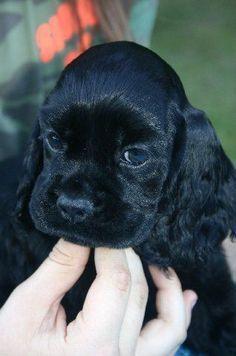 Black Cocker Spaniel Puppies, Perro Cocker Spaniel, American Cocker Spaniel, Cute Puppies, Cute Dogs, Dogs And Puppies, Doggies, Corgi Puppies, Beautiful Dogs