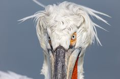 Photographing Dalmatian pelicans at Lake Kerkini in Greece. Februari is the start of their breeding season an then they show their beautiful feathers and beak colours. Kinds Of Birds, Dalmatian, Greece, Nature Photography, Colours, Seasons, Albania, Gallery, Feathers