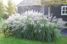 Lamp polisher grass with dew in autumn. Back Gardens, Small Gardens, Garden Spaces, Garden Plants, Haus Am See, Drought Tolerant Garden, Growing Gardens, Rooftop Garden, Small Garden Design