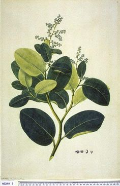 Griselinia Lucida - - New Zealand  -  artist Frederick Polydore Nodder, Curtis's bot. Mag. 49: t. 2350 [1822].  The Endeavour botanical illustrations -