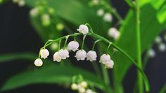 Kielo on myrkyllinen. Lily Of The Valley, Finland, Woodland, Seasons, Plants, Seasons Of The Year, Planters, Plant, Planting