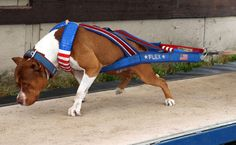 Pit Bull weight pulling harness - Community