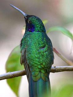 Bird Humming Hummingbirds Birds Anima