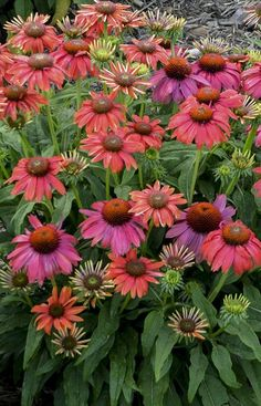 Enjoy Santa Fe Echinacea in your garden, all the color you expect but on a shorter plant. Hardy in zones 4-8, be on the lookout for butterflies and hummingbirds that will be drawn in with this unusual color!