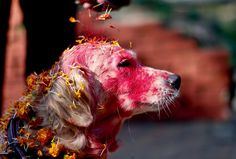 "for nepalese hindus, today is kukur puja, the second day of the five day tihar festival, nepal's version of diwali. literally meaning ""worship of dogs,"" kukur puja is dedicated to honouring our special relationship with dogs, who are adorned in vermillion and garlands of marigold"
