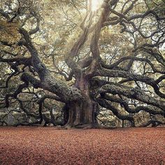 Tree in Angel Oak Park, Johns Island South Carolina Photo by Magda Bognar Carolina Do Sul, South Carolina, All Nature, Amazing Nature, Nature Pics, Francis Hallé, Angel Oak Trees, Johns Island, Unique Trees