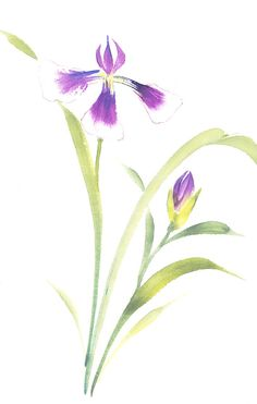 Purple Japanese Iris Watercolor by 3katdesign, via Flickr