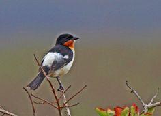 Foto bandoleta (Cypsnagra hirundinacea) por Claudio Lopes | Wiki Aves - A Enciclopédia das Aves do Brasil
