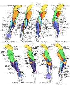 Triceps / Rear Arm Top Image Row 2 & 3 Row Left, Right Row 5 Bottom Row, by George Bridgman Human Anatomy Drawing, Anatomy Study, Body Drawing, Anatomy Art, Drawing Faces, Drawing Tips, Figure Drawing Reference, Anatomy Reference, Pose Reference