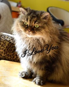 IloveYou chat mouton Selkirk Rex, T Rex, Cats, Animals, Cattery, Adorable Animals, Gatos, Animales, Kitty Cats