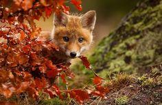 Лисенок играет с листвой.