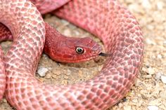 Wildlife: This brightly colored and beautiful image of a western coachwhip snake was taken in the deserts of west Texas. Spiders And Snakes, Poisonous Snakes, Cool Snakes, Colorful Snakes, Crocodile, All About Snakes, Types Of Snake, Texas Western, Snake Venom