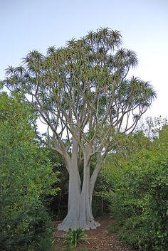 An aloe tree, Stellenbosch botanical gardens, Cape Town, South Africa