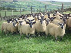 Suffolk X Cheviot Ewe Lambs at Ballymena Market