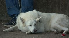 https://flic.kr/p/Pgbvpm | Dog Resting | Furry White beautiful animal... resting.  Anyone know what Breed?