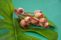 Philodendron, pavot, jungle et exotisme - Photo Sophie Plouvier